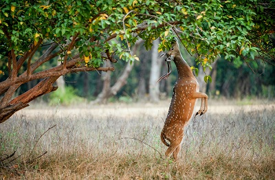 Eating wild male cheetal deer